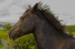Cavalo majestoso Imagem de Stock
