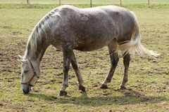 Cavalo manchado Foto de Stock Royalty Free