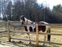Cavalo manchado que está no prado no campo imagem de stock