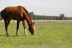 Cavalo manso de Brown que pasta no prado do campo na mola sob o céu claro e ensolarado Fotografia de Stock Royalty Free