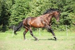 Cavalo marrom agradável que corre no pasto fotos de stock