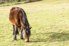 Cavalo marrom bonito com um campo preto longo da juba na primavera imagens de stock