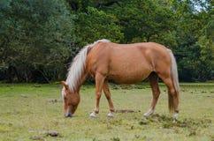 Cavalo marrom bonito que pasta Foto de Stock