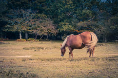 Cavalo marrom bonito que pasta Fotografia de Stock Royalty Free