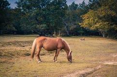 Cavalo marrom bonito que pasta Foto de Stock Royalty Free
