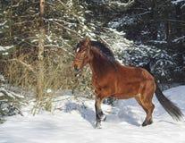 cavalo marrom que corre na floresta do inverno na neve imagem de stock