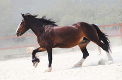 Cavalo marrom Running na exploração agrícola Fotos de Stock