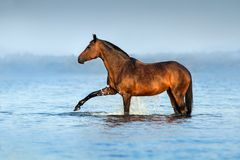 Cavalo na água azul Imagens de Stock Royalty Free