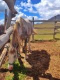 Cavalo na cerca Foto de Stock