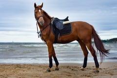 Cavalo na costa Foto de Stock Royalty Free