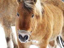 Cavalo na estação do inverno (45) Imagens de Stock Royalty Free