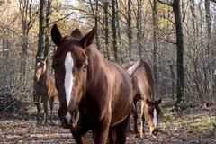 Cavalo na floresta do outono Fotografia de Stock Royalty Free