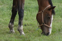 Cavalo na grama Imagem de Stock