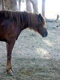 Cavalo na jarda em Marrocos Fotos de Stock