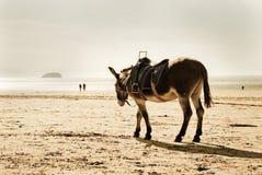 Cavalo na praia Foto de Stock Royalty Free
