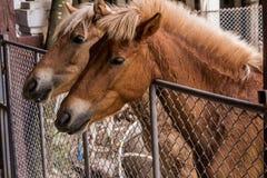 Cavalo na tenda Fotografia de Stock