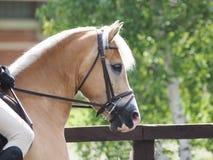 Cavalo no anel da mostra imagem de stock royalty free