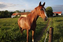 Cavalo no campo Imagens de Stock Royalty Free