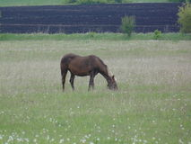 Cavalo no campo imagem de stock royalty free