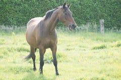 Cavalo no campo aberto Imagem de Stock Royalty Free