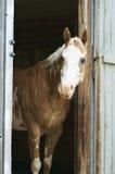 Cavalo no estábulo imagens de stock royalty free