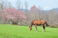 Cavalo no pasto da mola Fotos de Stock Royalty Free