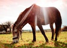 Cavalo no pasto no fulgor de noite Imagens de Stock Royalty Free