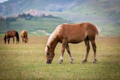 Cavalo no piano grandioso, Castelluccio di Norcia, Itália Fotografia de Stock