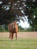 Cavalo no prado Fotografia de Stock Royalty Free