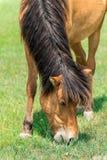 Cavalo no prado Fotos de Stock Royalty Free