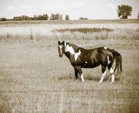 Cavalo no prado em América rural (Sepia) fotografia de stock royalty free