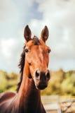 Cavalo no prado, fora, cavaleiro Fotos de Stock Royalty Free