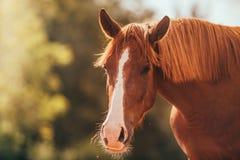 Cavalo no prado, fora, cavaleiro Foto de Stock Royalty Free