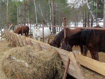 Cavalo no prado no frio e na alimentação e no passeio fotografia de stock royalty free