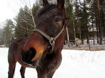 Cavalo no prado no frio e na alimentação e no passeio fotografia de stock