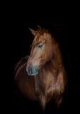 Cavalo no preto Fotografia de Stock Royalty Free