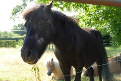 Cavalo no quintal Foto de Stock