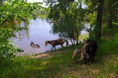 Cavalo no rio em molhar Fotografia de Stock Royalty Free
