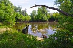 Cavalo no verão pelo rio Imagem de Stock Royalty Free