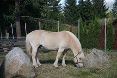 Cavalo norueguês do fiorde & x28; no norueguês: fjording& x29; Foto de Stock Royalty Free