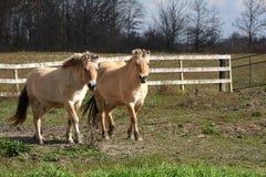 Cavalo norueguês do Fjord Imagem de Stock Royalty Free