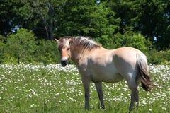Cavalo norueguês do Fjord Fotos de Stock