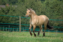 Cavalo norueguês do Fjord foto de stock royalty free