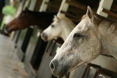 Cavalo nos estábulos Fotografia de Stock Royalty Free