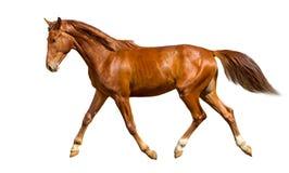 Cavalo novo Foto de Stock Royalty Free