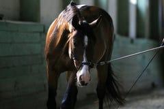 Cavalo novo do adestramento sob o treinamento no salão velho da equitação Fotografia de Stock