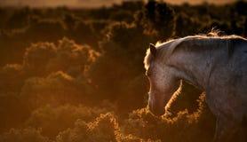 Cavalo novo do pônei da floresta backlit pelo sol Imagens de Stock