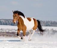 Cavalo novo do pinto imagem de stock royalty free