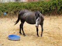 Cavalo novo marrom/preto em um campo da grama seca com verde sobre Fotos de Stock