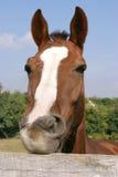 Cavalo novo que mastiga a cerca na cena engraçada do verão da exploração agrícola Fotografia de Stock Royalty Free